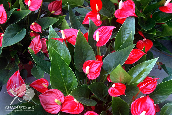 Million-Flowers-Red