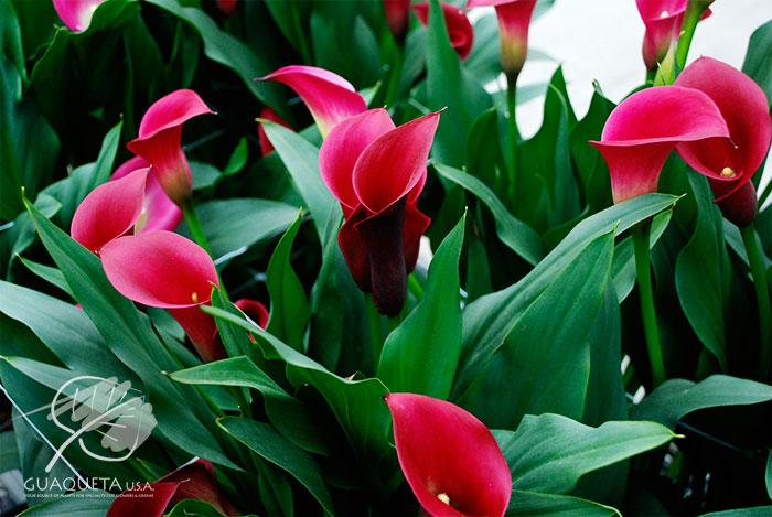 Callafornia-Red1