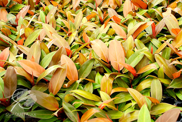 philodendron-1