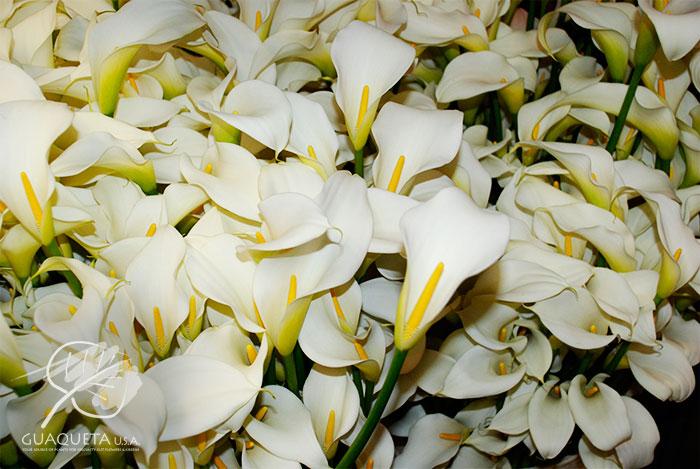 t--Aethiopica-Artic-White